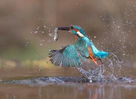 """翠鸟号称鸟类中的""""战斗机"""""""