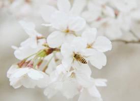 三月樱花唯美高清桌面壁纸