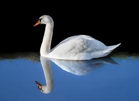 湖面上的优雅白天鹅图片