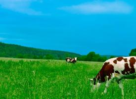一组黑白花奶牛图片欣赏