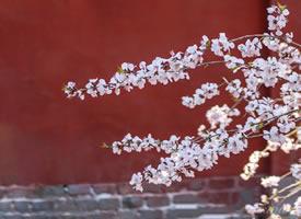 颐和园桃花季,美丽却短暂