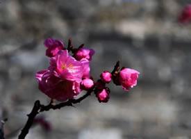 明城墙遗址公园梅花开图片
