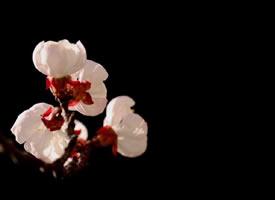开的绚丽多彩的桃花图片