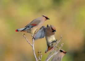 可爱的小太平鸟图片