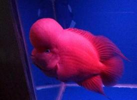 全身通红的红马罗汉鱼