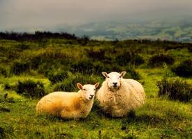 毛茸茸呆萌动物绵羊图片
