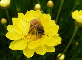 蜜蜂在花朵上采蜜的高清图片大全
