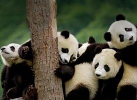 上树的大熊猫顽皮萌图片