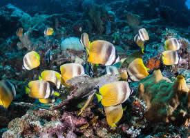 美妙多彩的蝴蝶鱼图片