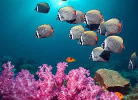 一组自由自在的蝴蝶鱼图片