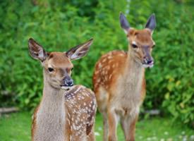 可爱的小动物梅花鹿图片