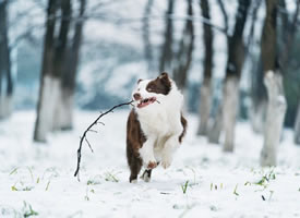 雪地里跑出二哈气质的边牧