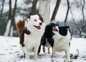 两只超级的狗狗图片欣赏