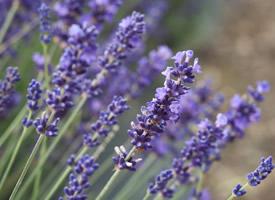 紫色薰衣草唯美风景图片桌面壁纸