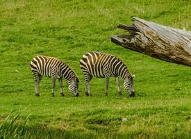 非洲大草原成对斑马图片