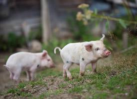 萌宠猪猪图片大全可爱图片