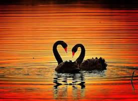 水中漫步的黑天鹅高清图片