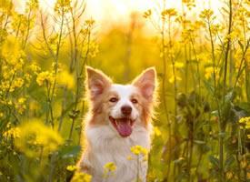 春暖花开 开心的狗狗图片