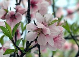 迎风初绽,嫣然含笑的桃花
