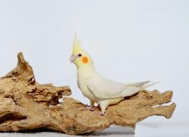漂亮美丽的玄凤鹦鹉