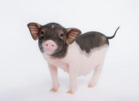 一组黑白色可爱的小猪猪图片