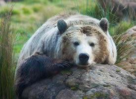 一组凶猛胖胖的棕熊图片