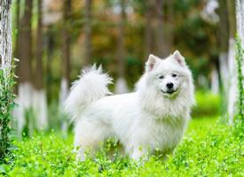 春景下拍摄的可爱萨摩耶狗狗图片