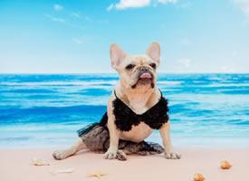 穿着各种衣服在度假的斗牛犬