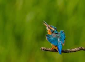 活泼可爱的翠鸟图片