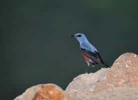 马耳他的国鸟——蓝矶鸫