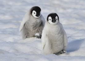 在雪地开心的企鹅图片欣赏