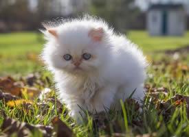 宝石眼睛白色波斯猫图片