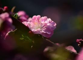 一组静态美的桃花图片欣赏