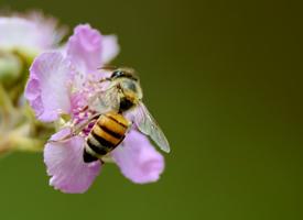 喜欢采蜜的小蜜蜂生态昆虫动物图片