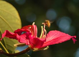 小蜜蜂采花蜜特写摄影昆虫动物壁纸