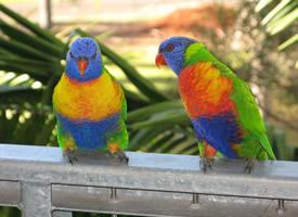 羽毛亮丽的彩虹鹦鹉图片