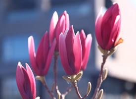 一组含苞待放的玉兰花图片欣赏