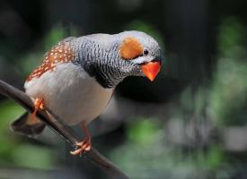 珍珠鸟是金山珍珠的别名