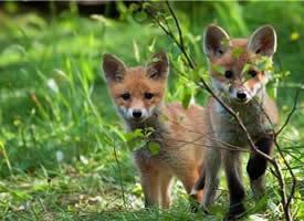 一组意境美的狐狸图片欣赏
