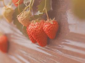 一组朦胧意境感的草莓图片