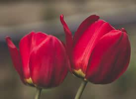 郁金香花卉唯美图片桌面壁纸