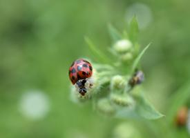 一组绿叶上的瓢虫图片