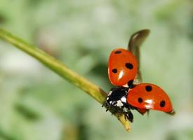 一组瓢虫微距摄影图片