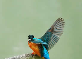 塘里的翠鸟图片