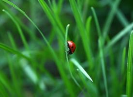 红色瓢虫特写图片大全