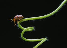 藤蔓上慢慢爬行的七星瓢虫