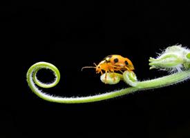 一组藤蔓上的瓢虫图片