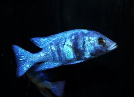 非常美丽的蓝宝石热带鱼图片