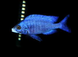 蓝宝石热带鱼图片