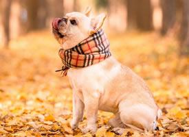 秋天里忧郁的小歌手 法斗图片